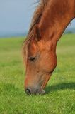 Horse. S pasture grass. close up Stock Images