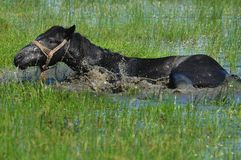 Horse. Swim in the water on the lawn Royalty Free Stock Photo
