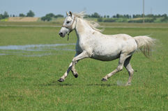 Horse. Trotting on the field Stock Images