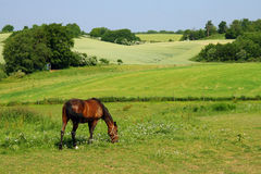 Horse. Eating grass in a meadow royalty free stock photos