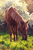 Horse. A beautiful brown horse grazing in the spring green meadow at sunset Royalty Free Stock Photography