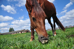 Horse. Grazing in a green field Stock Photos