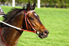 Horse. Racing horse portrait on competition Royalty Free Stock Photo