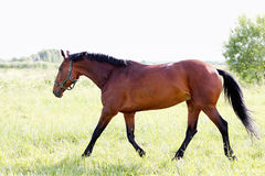 Horse. Brown horse on a pasture Stock Photo