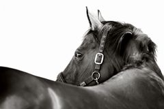 Horse. Black-and-white portrait of a horse on a white background Stock Image