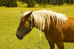 Horse. Domesticated horse in the meadow royalty free stock photography