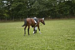 Horse. Competition,  on field Stock Photography