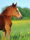 Horse. Baby of Horse on a green grass Royalty Free Stock Photo