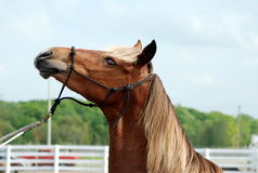 A horse Royalty Free Stock Image