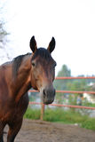 A horse. A racing horse resting Royalty Free Stock Photo