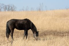 Horse. Black horse grazing on a dry field Royalty Free Stock Image