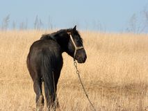 Horse. Black horse grazing on a dry field Royalty Free Stock Photography