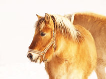 Horse 22. Horses in winter season, outdoor Royalty Free Stock Photography