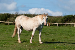 Horse. In a fenced in Cornwall Royalty Free Stock Photos