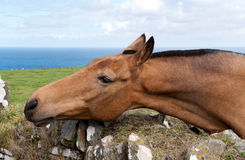 Horse. With mane cut in Tintagel in Cornwall Royalty Free Stock Images