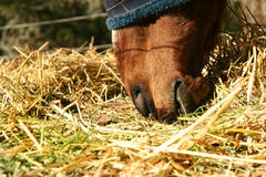 Horse. Close up of horse eating hay Royalty Free Stock Photography