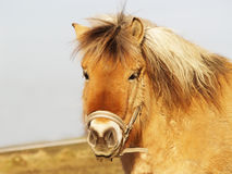 Horse 24. A horse, is looking at here Royalty Free Stock Photography