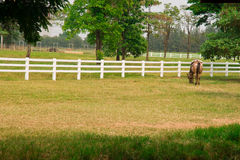 Horse. In the field of thailand royalty free stock photos