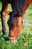 Horse. Brown orse eating grass on the meadow Stock Image