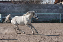 Horse. Beautiful gray horse, horse skips in an open-air cage Stock Image