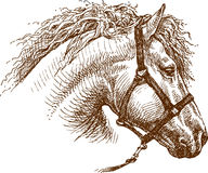 Horse. Vector image of a head of a horse Royalty Free Stock Image