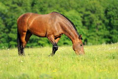 Horse. Nice strong horse in a field eating grass royalty free stock photo