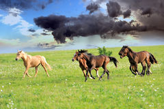 Horse. Running bay horses in the meadow Stock Photo