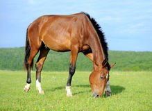Horse. Nice strong horse in a field against the sky Royalty Free Stock Image
