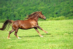 Horse. Running bay horse in the meadow royalty free stock photography