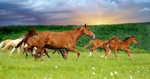 Horse. Running herd horses in the meadow Stock Image