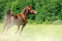 Horse. Running bay horse in the meadow stock photo