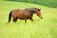 Horse. Beautiful horse in the field, blurred background Stock Images