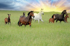 Horse. Pretty strong horse, galloping in a meadow Royalty Free Stock Photos