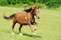 Horse. Magnificent horse galloping galloping on the green grass royalty free stock photos