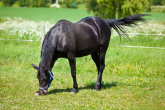Horse. Eating food in a meadow Royalty Free Stock Photo