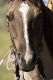 Horse. 's head with bridle Royalty Free Stock Photos