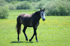 Horse. Walk on the green field Royalty Free Stock Image