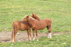 Horse. Two brown horses use mouth tickle each other Stock Images