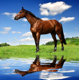 Horse. Brown horse in the meadow Stock Photos