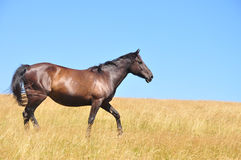 Horse. Beautiful horse on a field, in a summer day stock photography