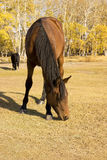 A horse Royalty Free Stock Photography