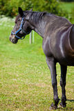 Horse. Stand on a meadow Royalty Free Stock Photo