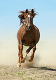 Horse. A horse hurries at a gallop on the field Stock Image
