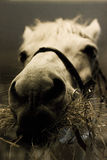 Horse. White horse in a barn eating grass Stock Image