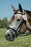 Horse. Portrait of a warm blood horse wearing a dressage bridle Stock Images