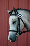 Horse. Portrait of a grey pony wearing a dressage bridle Stock Photos