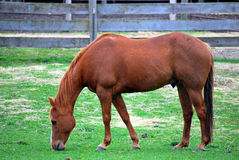 Horse. Royalty Free Stock Photos