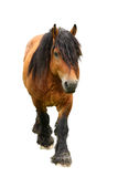 Horse. Front view of horse walking towards you Stock Images