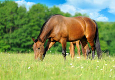 Horse. Running bay horse in the meadow Stock Photos