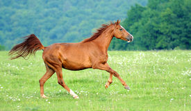 Horse. Running bay horse in the meadow Stock Photography
